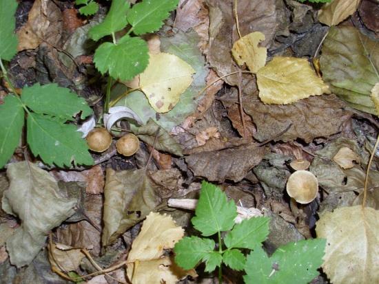 In giro a cercare funghi - Sassello (1184 clic)