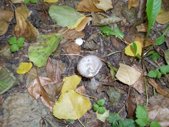 In giro a cercare funghi - Sassello (1182 clic)