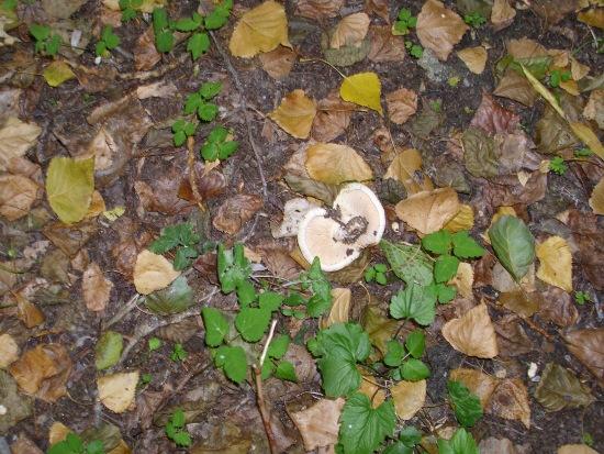 In giro a cercare funghi - Sassello (1185 clic)