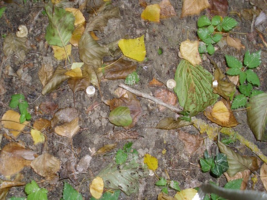 In giro a cercare funghi - Sassello (1243 clic)