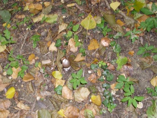 In giro a cercare funghi - Sassello (1656 clic)