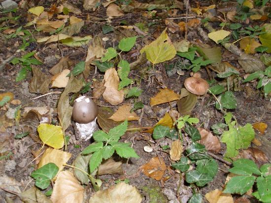 In giro a cercare funghi - Sassello (1296 clic)