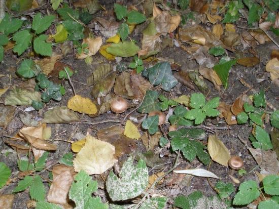 In giro a cercare funghi - Sassello (1346 clic)