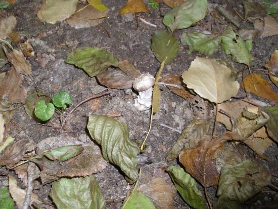 In giro a cercare funghi - Sassello (2084 clic)