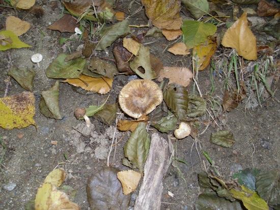 In giro a cercare funghi - Sassello (1495 clic)