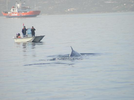 Balene nelle acque antistanti il porto a La Maddalena (2792 clic)