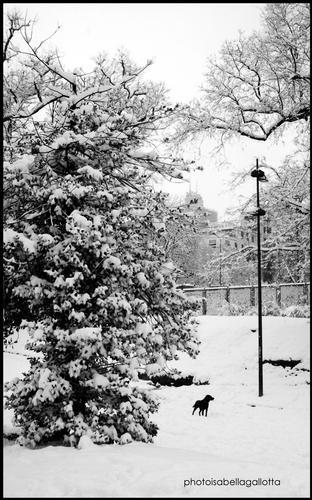Cane nella neve - Milano (2292 clic)