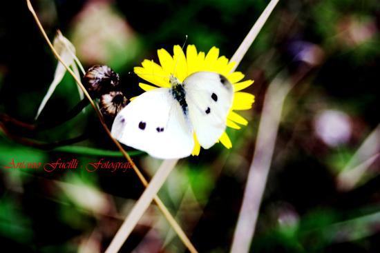 farfalla (564 clic)