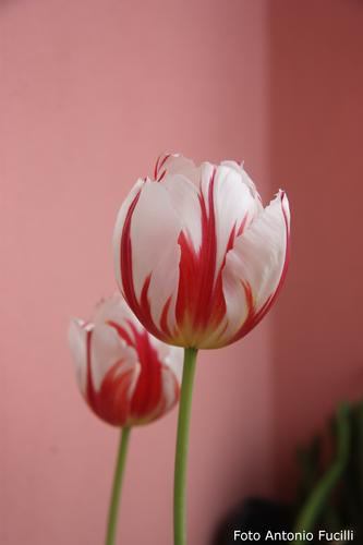 Tulipani - Ruvo di puglia (1571 clic)