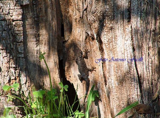 geko su tronco di olivo - Molfetta (1419 clic)