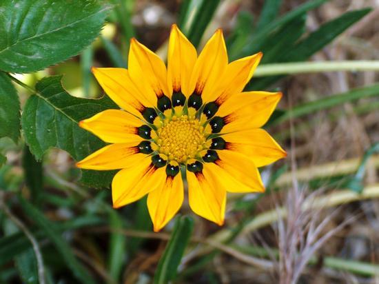 fiore di campo (464 clic)