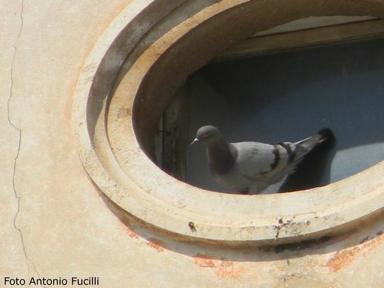 piccione - Ruvo di puglia (1663 clic)