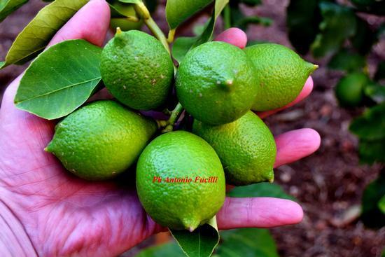 ciuffo di limoni (423 clic)