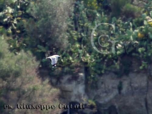 Gabbiano - Aci trezza (2741 clic)