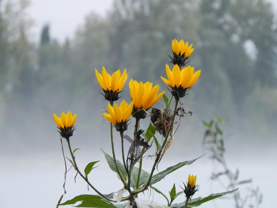 isonzo...fiori nella nebbia - Sagrado (3248 clic)