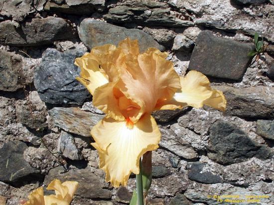 Iris arancio. - Sassello (1530 clic)