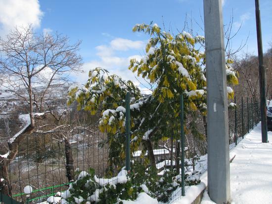 Mimosa sotto la neve - Gioiosa marea (2633 clic)