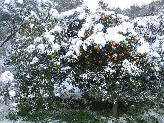 Limoni, aranci,neve - Gioiosa marea (2957 clic)