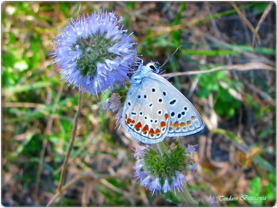 Farfalla su fiore - Gioiosa marea (2143 clic)