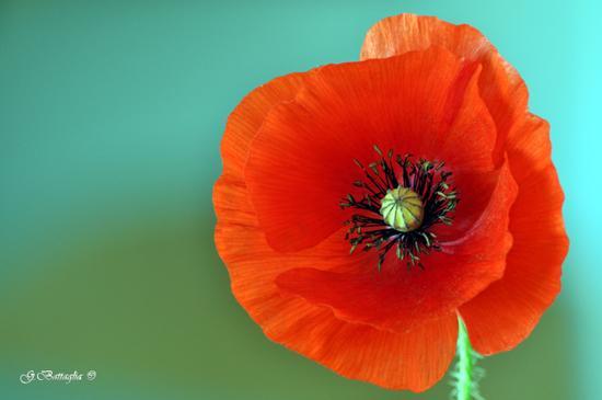 Red papavero - Etna (4975 clic)