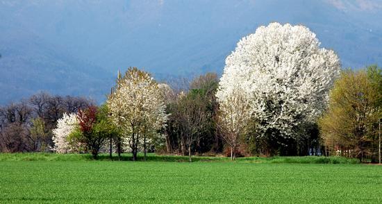 ciliegio in fiore - Cantù (2417 clic)