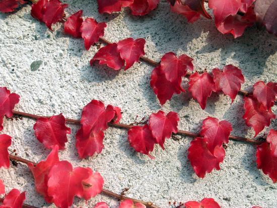 vite canadese - Cantù (3711 clic)