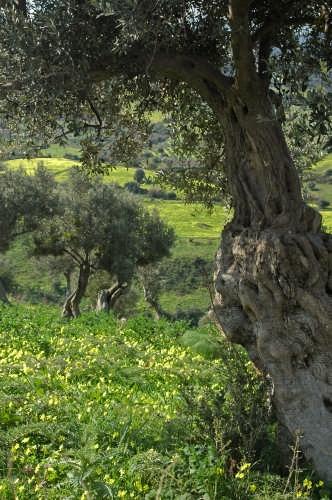 ulivi saraceni - Pettineo (4621 clic)
