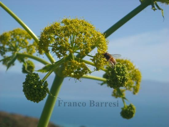 Flora e fauna nizzarda - Nizza di sicilia (2312 clic)