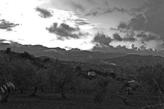 L'alberi di Olive - Termini imerese (2148 clic)
