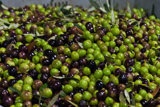 Olive - Caccamo (2983 clic)