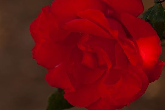 Rosa rossa - Termini imerese (1779 clic)