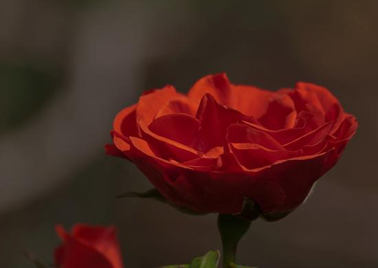 Rosa rossa - Termini imerese (2086 clic)