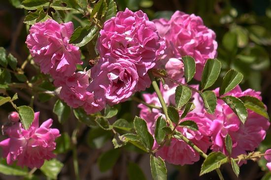 Rosa piccola - Termini imerese (1603 clic)