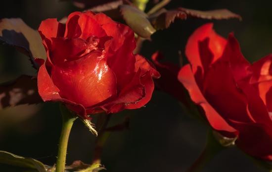 Rosa rossa - Termini imerese (2081 clic)