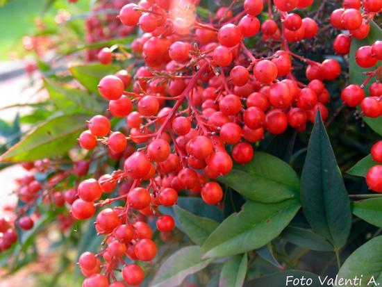 Nel giardino d'autunno - Vedelago (1333 clic)