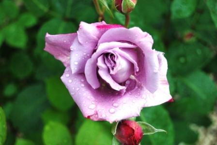 pink_winter1 - Albano laziale (1375 clic)