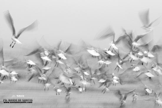 il volo dei gabbiani - Pescara (2210 clic)