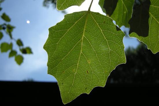 Pioppo bianco in Pineta - Eraclea (845 clic)