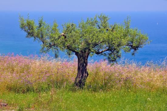 Tree - Forza d'agrò (2772 clic)