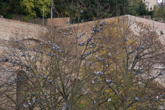 L'albero dei piccioni - Urbino (1948 clic)