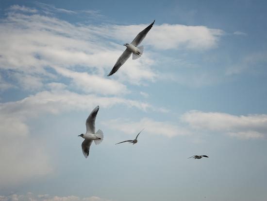 gabbiani in volo - Giardini naxos (3930 clic)