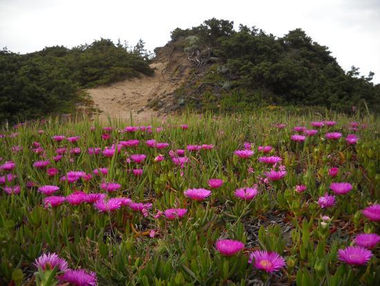 dune in fiore - Sabaudia (2610 clic)