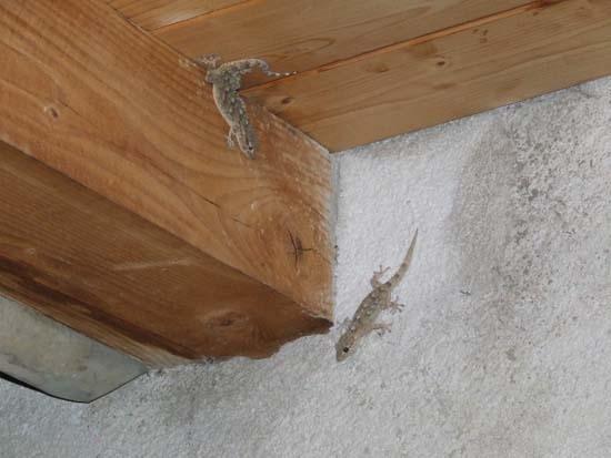 Salamandre - Pettineo (3666 clic)