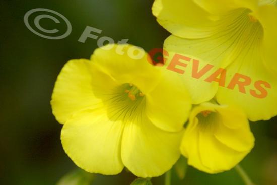 Fiore di compagna - Spongano (920 clic)