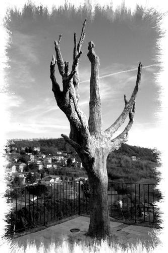 Vecchio albero - Avellino (1552 clic)