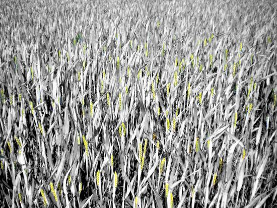 S'incontra ancora un campo di grano - Montella (1731 clic)