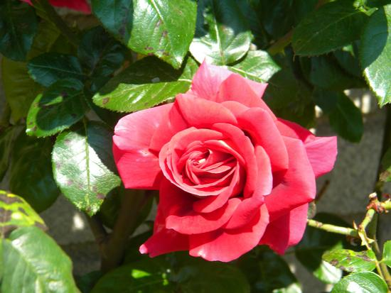 rosa - Albano laziale (1232 clic)