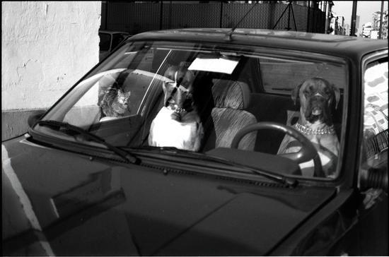 Driving Bulldogs  (639 clic)