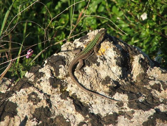 ciaramucia(lucertola) - Mazara del vallo (3621 clic)