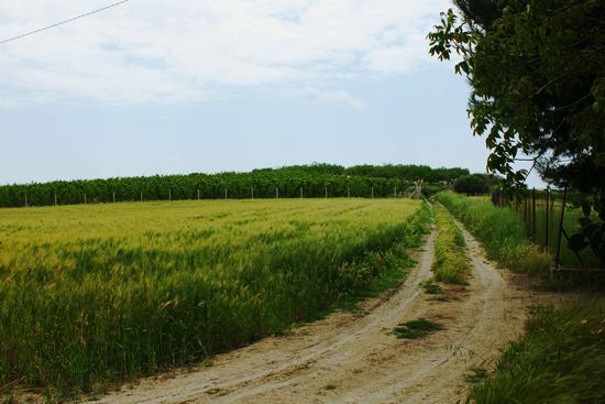 Costeggiando il campo di grano. - Mazzarino (2982 clic)